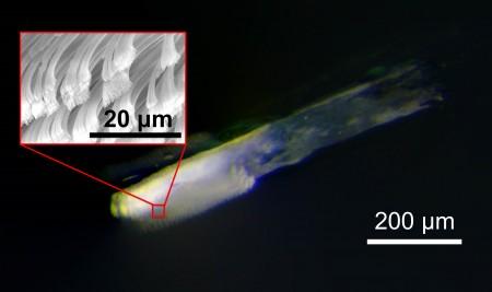 게코 도마뱀의 섬모 - GIST 제공